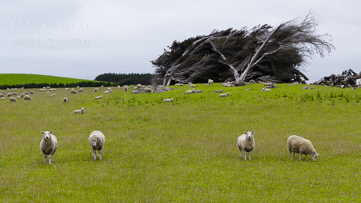 a-274-cosy-nook-sheep-macrocarpa-tree-new-zealand