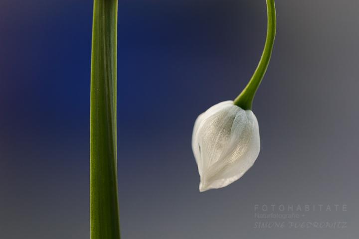 weiße Blüte mit Stengel