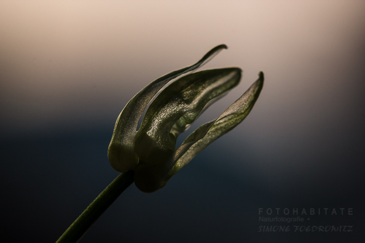 Blüte im Gegenlicht