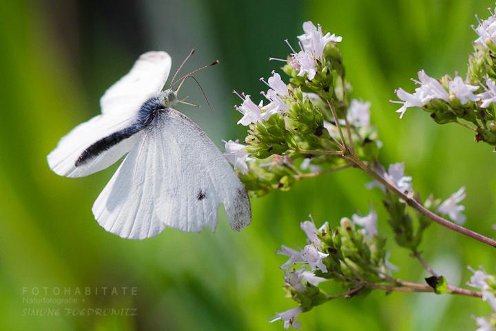 Anflug Schmetterling auf Blüte