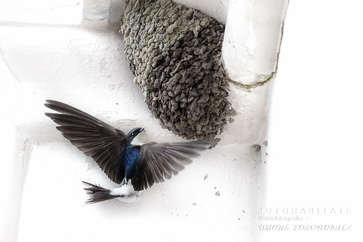 Anflug Mehlschwalbe Nest