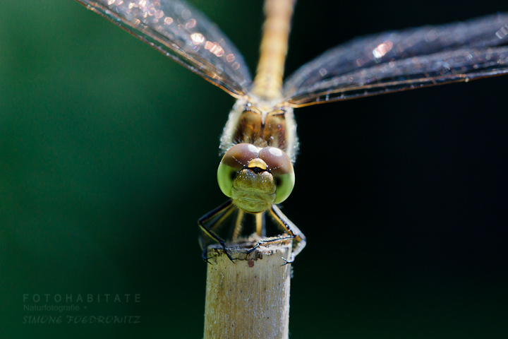 Libelle auf Ansitz