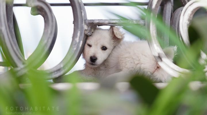 weißer kleiner Hund lugt zwischen einem Tischgestell hervor
