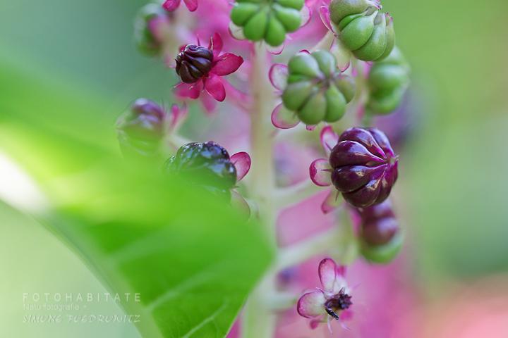 Früchte und Blüte an einem Blütenstand