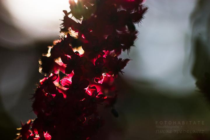 Blütenstand in der Dämmerung