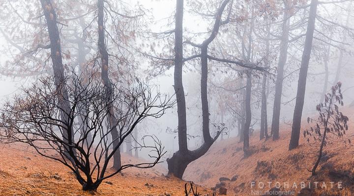 Verkohlte Kiefern und Straücher am Berghang im Nebel