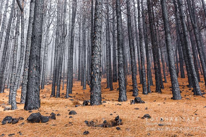 schwarz verkohlte Pinienstämme und orangefarbener Waldboden