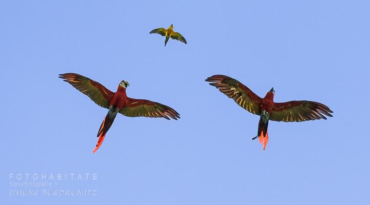 fliegende Aras mit Goldsittich