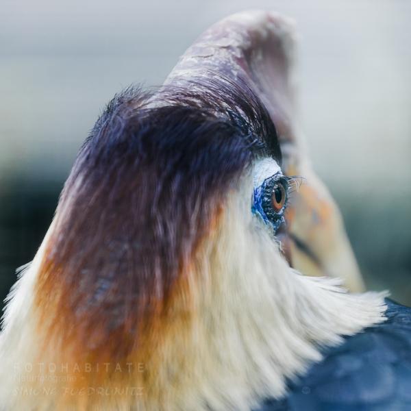 Kopf Hornvogel
