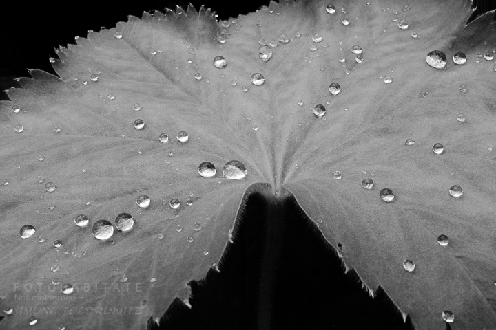 G-0005-fotohabitate_beauty-leaf-waterdrops-bw
