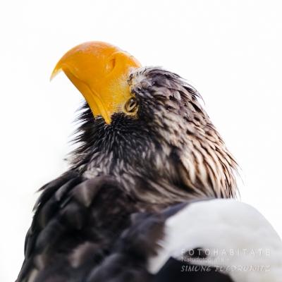 Kopf Seeadler