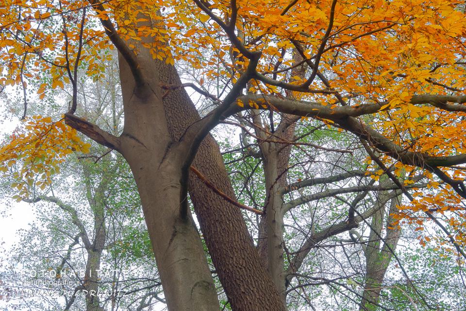 zwei sich berührende Baumstämme im Herbst