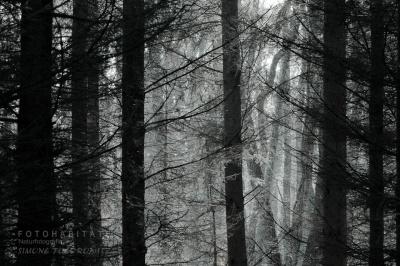 Kiefernwald in schwarzweiß