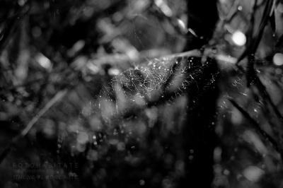 Spinnennetz zwischen Kiefernadeln