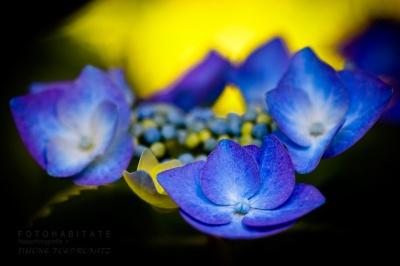 blaue Blüten vor gelber Farbe
