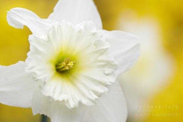 weiße Blüte Narzisse