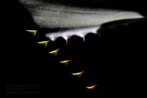 Zähne Aloeblatt