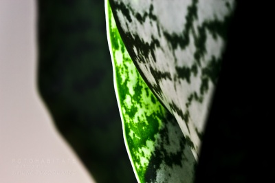 grün-weiß gemustertes Blatt