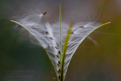 Flugschirmchen Pflanze