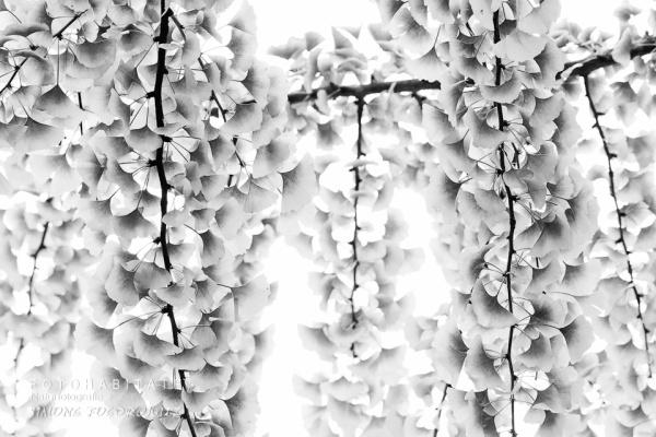 Blättertrauben in schwarzweiss