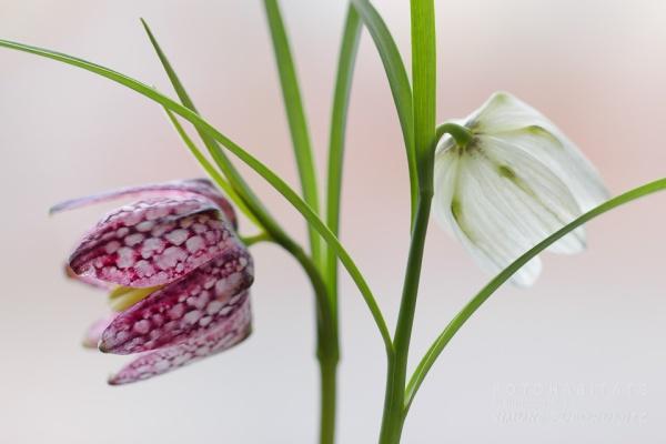 zwei Blüten, violett und weiß