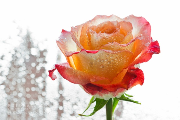 regenbenetzte apricotfarbene Rosenblüte