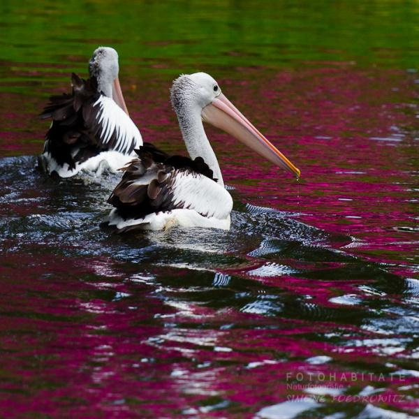 schwimmendes Pelikanpaar
