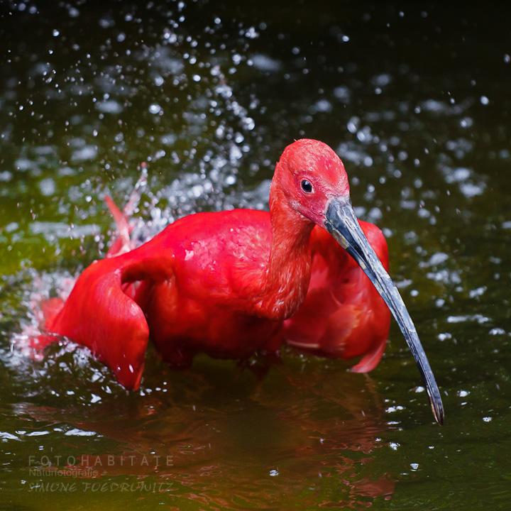 badender roter Vogel (Ibis)