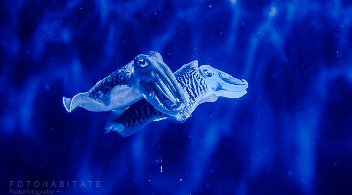 schwimmendes Pärchen Tintenfische in blau