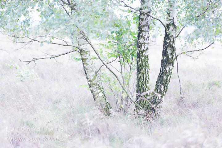 Birke in blühender Heide