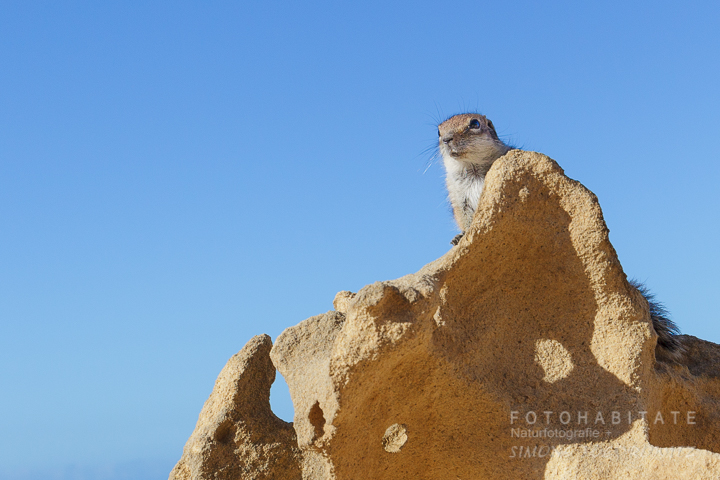 Streifenhörchen auf Stein