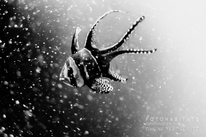 Skalar-Fisch mit Luftblasen in schwarzweiß