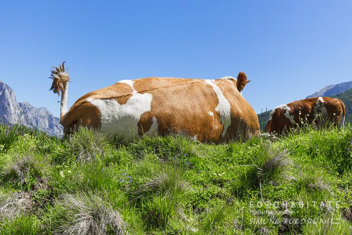 Braunweiße auf Gras liegende Kuh