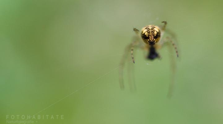 Hinterleib gelb schwarze Spinne