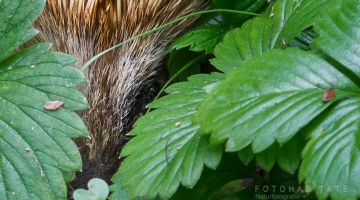 Igel lugt aus seinem Pflanzenversteck