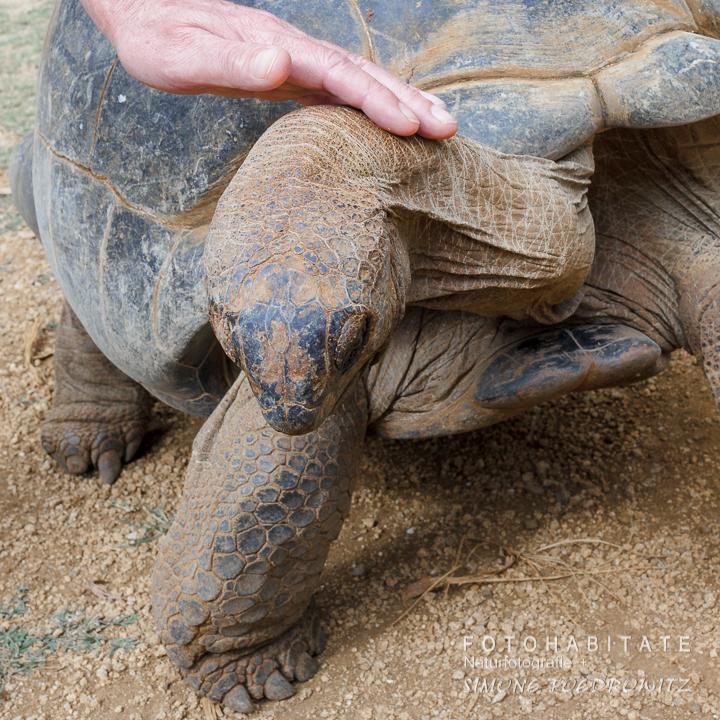 Hand streichelt Kopf von Riesenschildkröte