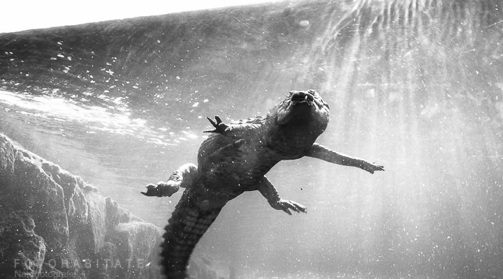 Tauchendes Krokodil im Aquarium