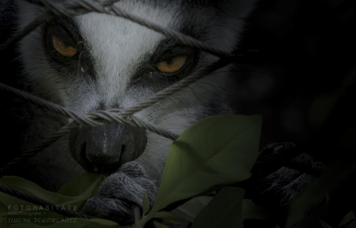 Lemure hinter Drahtzaun