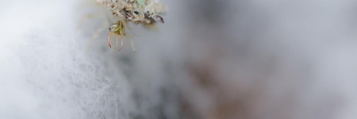 Insekt mit langen Kiefernzangen