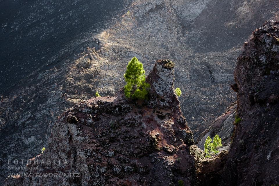 Kiefern wachsen auf Felsen im Vulkankrater