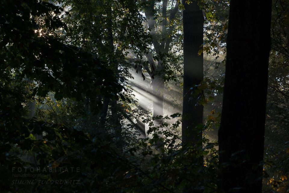 Lichtstrahl durch Baumstämme