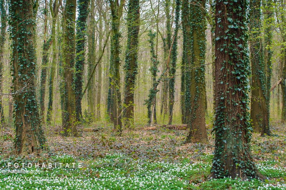 Buschwindröschenblüte zwischen efeubewachsenen Bäumen