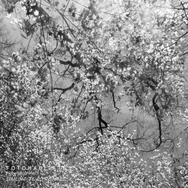 Baumkrone mit Blättern in schwarzweiß
