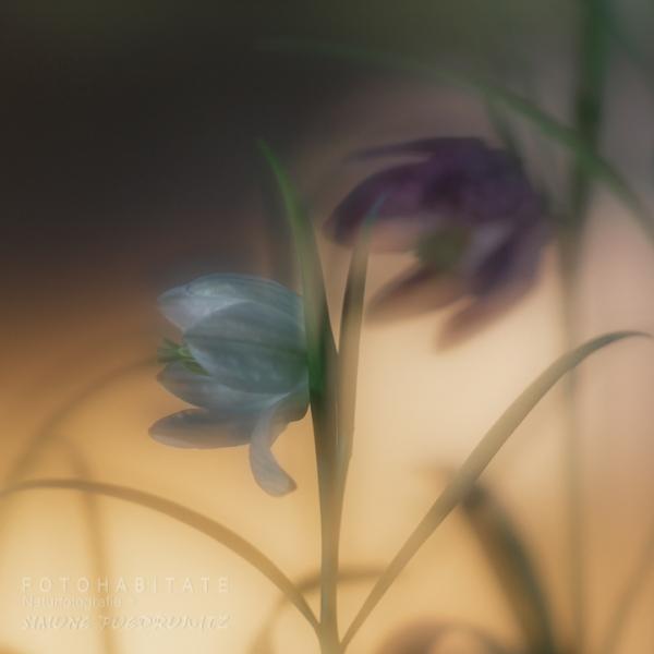 weisse und pinke Blüten Schachbrettblume