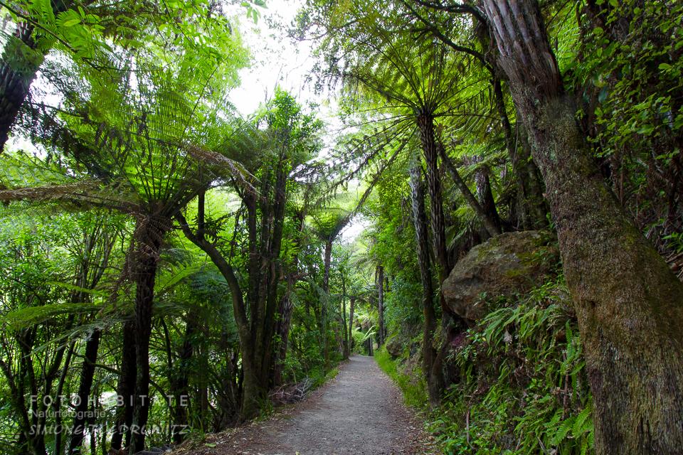 Weg zwischen hohem Baumfarn